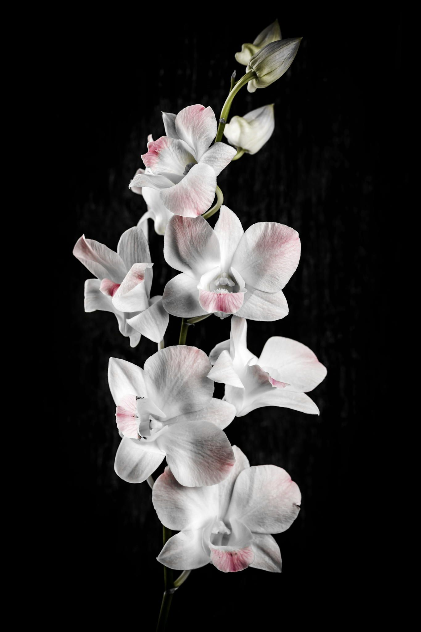 Orchid Flowers On Black Orchid Wallpaper Beautiful Flowers Photography Orchid Flower