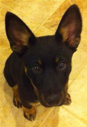 German Shepherd Doberman Mix German Shepherd Mix Puppies