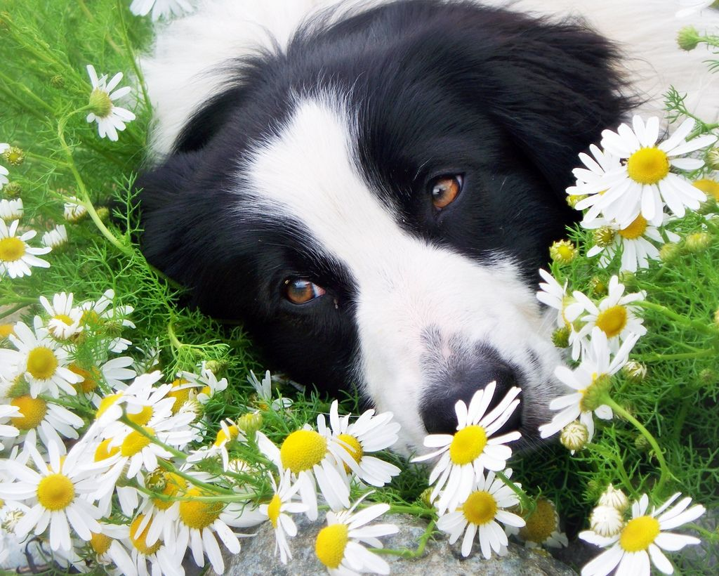The Collie Flower Bed Border collie, Collie, Dogs