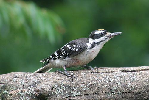 Indiana Backyard Birds   Hairy Woodpecker By Ivy Kardokus 2