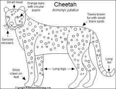cheetah diagram    cheetah    facts for kids printable cheetahs   acinonyx     cheetah    facts for kids printable cheetahs   acinonyx