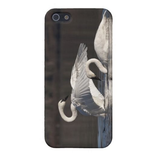 Swans Loving Expression iPhone 5 Cover