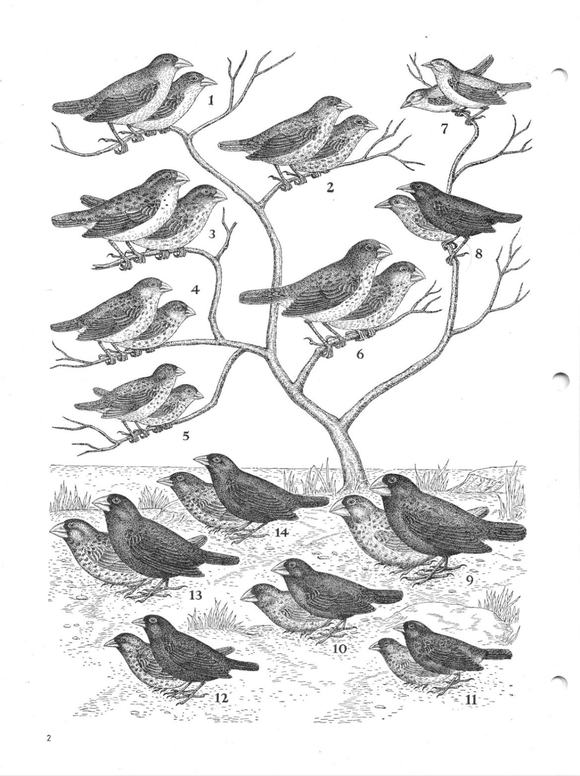 Darwin S Finches Of The Galapagos Islands
