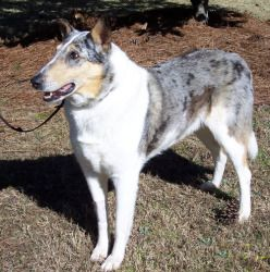 Merlin Is An Adoptable Collie Dog In Gainesville Ga Check Out