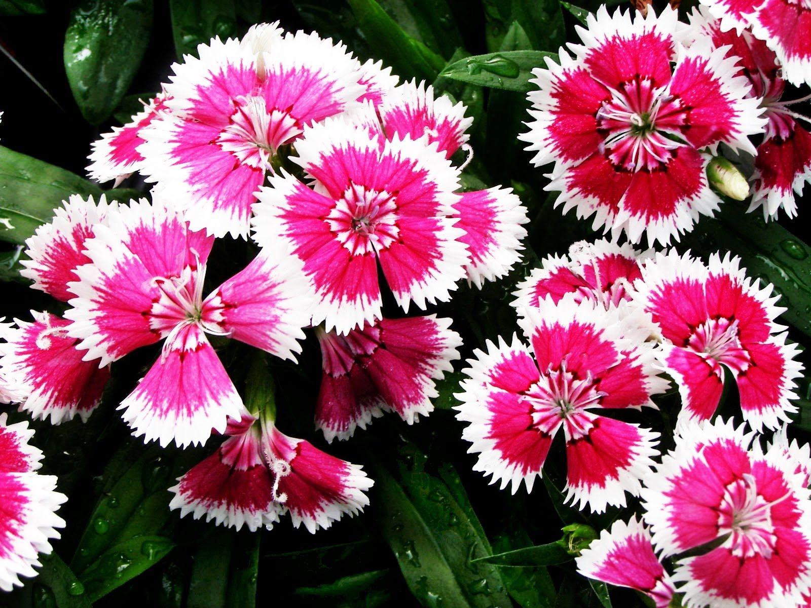Как и когда цветет актинидия фото настоящее имя
