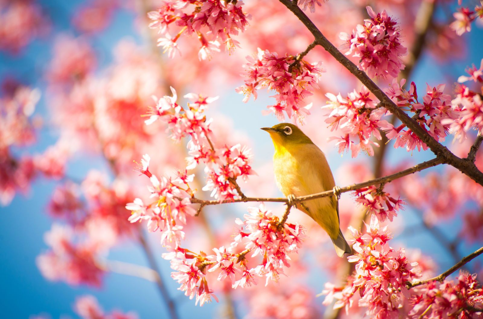 Cherry Blossom Tree Facts That You Definitely Never Knew Before Cherry Blossom Japan Japanese Cherry Blossom Cherry Blossom