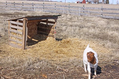 Goat Housing PALLETS | All that straw makes really good summertime mulch and fertilizer to ...