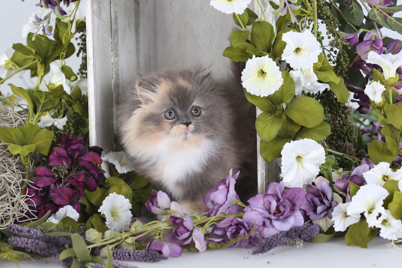 Dilute Calico Persian Kitten