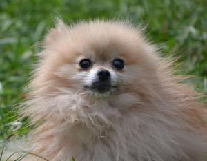 Adopt Biscotti On Dog Adoption Pomeranian Dog