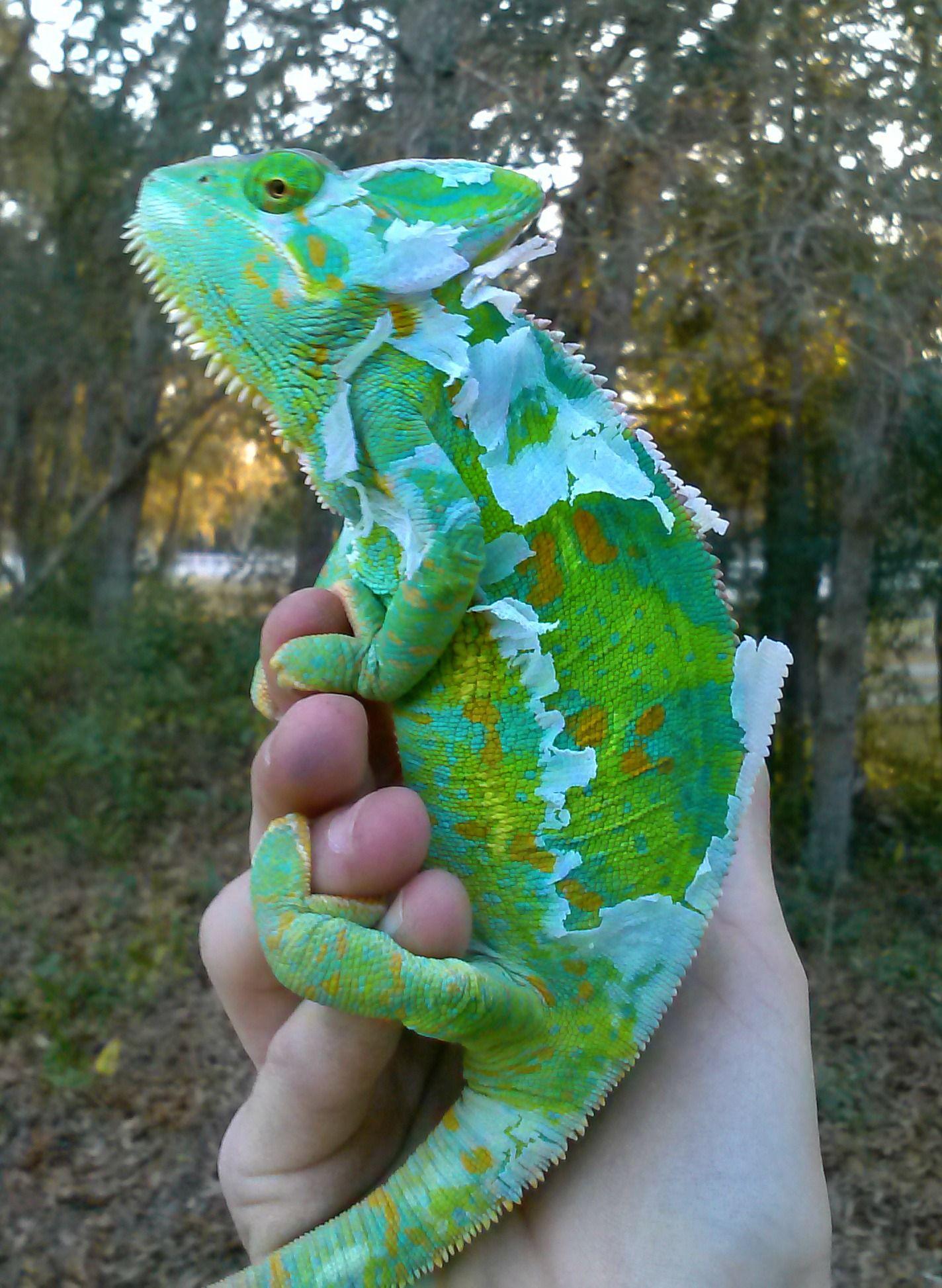 Veiled Chameleon Female Shedding Cute reptiles