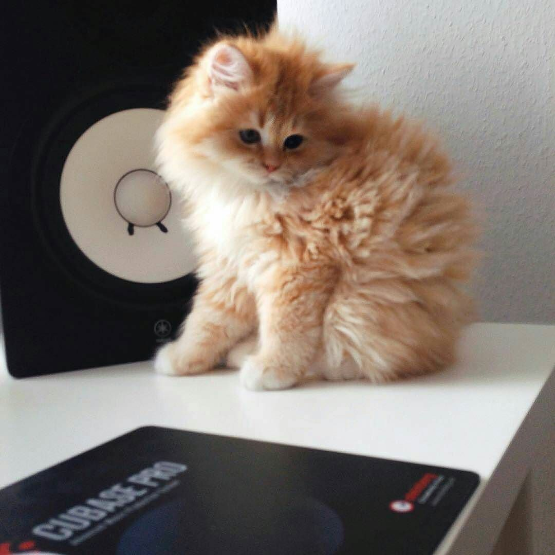 Repost Gojedi Make Music Cat Music Catsofinstagram Cats Catstagram Catlover Catlovers Kitten Kittens Kitty Katze Kedi Ask Cats Cute Cats Kitty