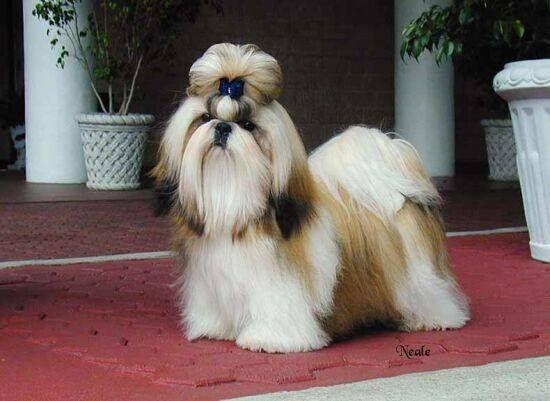 Gorgeous Shih Tzu Dog Dog Muzzle Shih Tzu Puppy