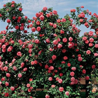 America Climbing Rose Climbing Roses Fragrant Roses Planting Roses