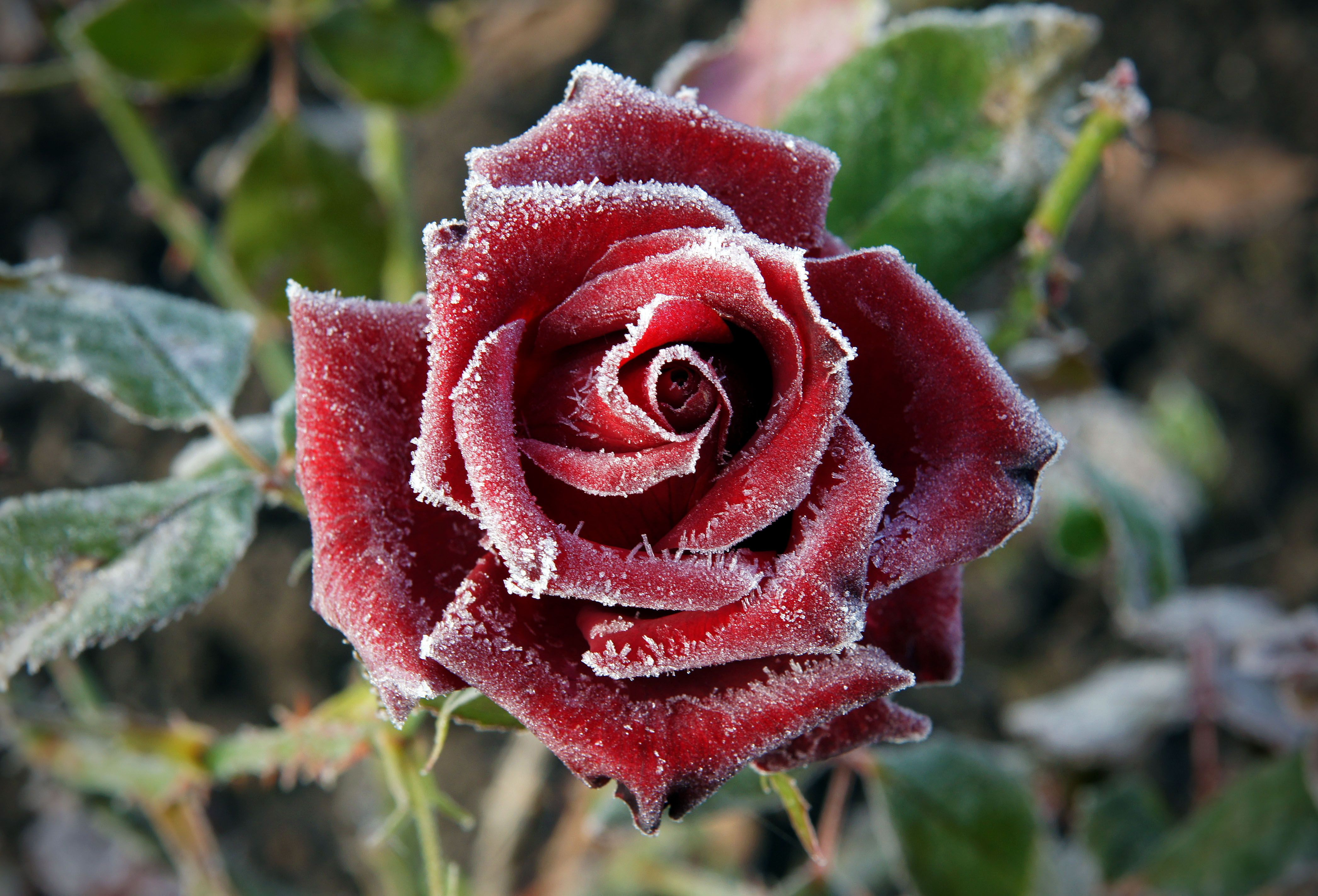 Winter Care for the Rose Garden is part of Rose garden Care - Your rose garden needs care all year long  especially in the winter  Snow is both good and bad for your roses  Learn winter care here