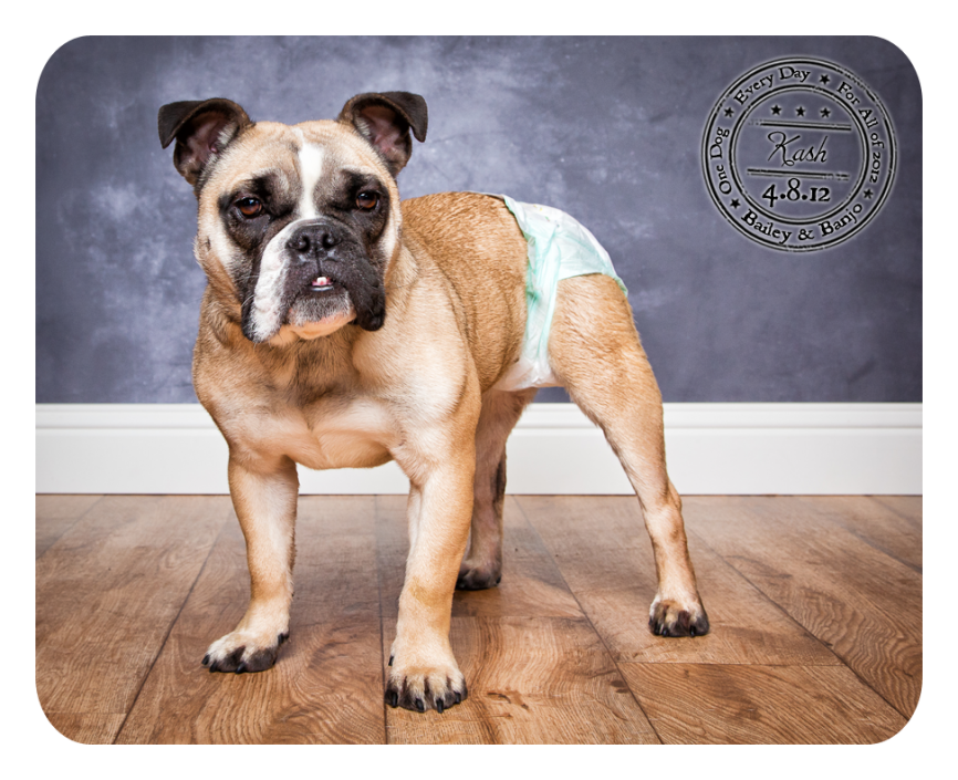 FreeLance Bulldog dog for Adoption in Washington, DC. ADN