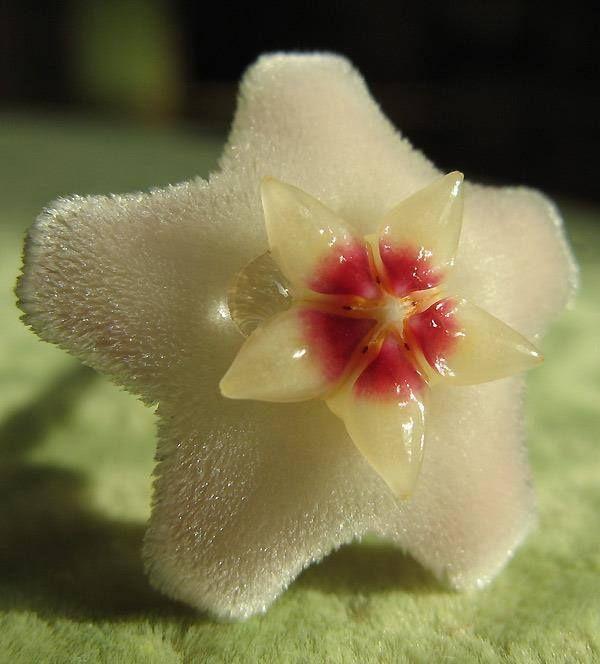 Fleur de #Hoya !