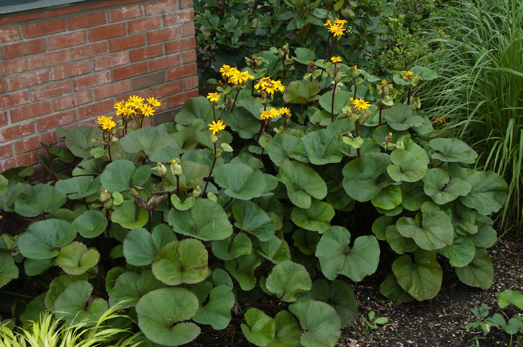 Goldenray ligularia landscape plants rated by deer resistance composting mightylinksfo Images