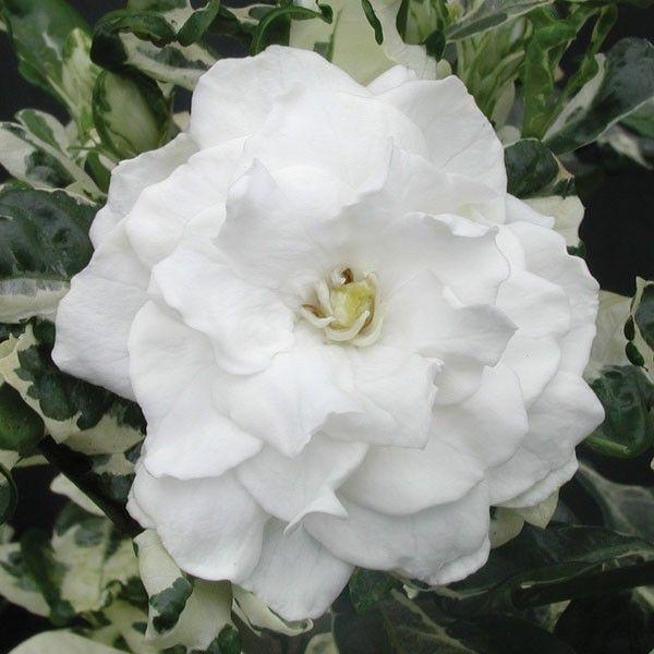 Gardenia Variegata Gardenia Jasminoides The Double White