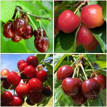 4 In 1 Cherry Tree Fast Growing Trees Growing Tree Tree Nursery