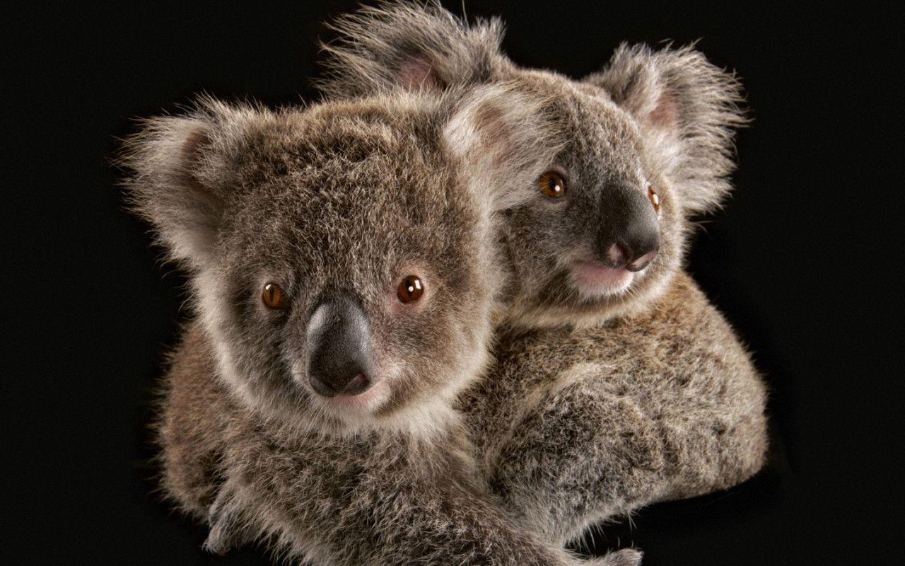 Koala HD Wallpapers and Backgrounds (42) Koala, Cute