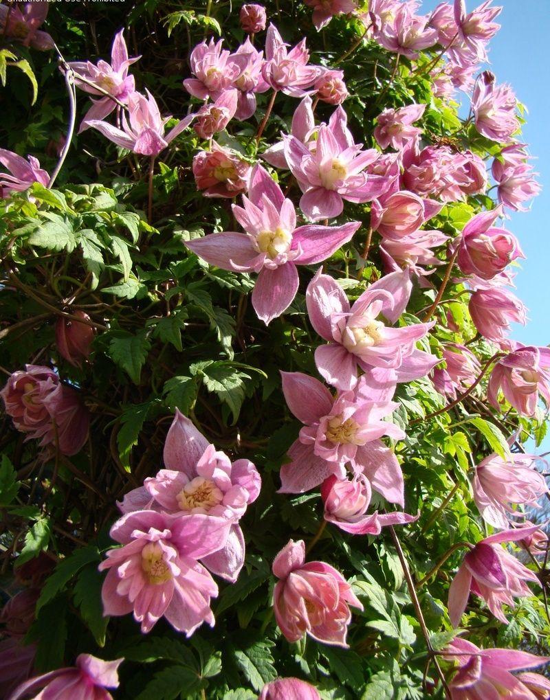 Clematis Markhams Pink Atragene