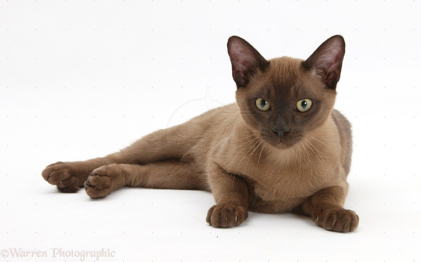 13 Smartest Cat Breed In The World