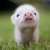 here, piggy piggy love....