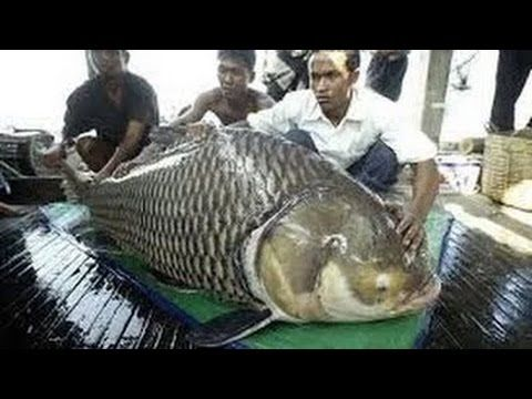 National Geographic Monster Quest Giant Killer Fish Documentary
