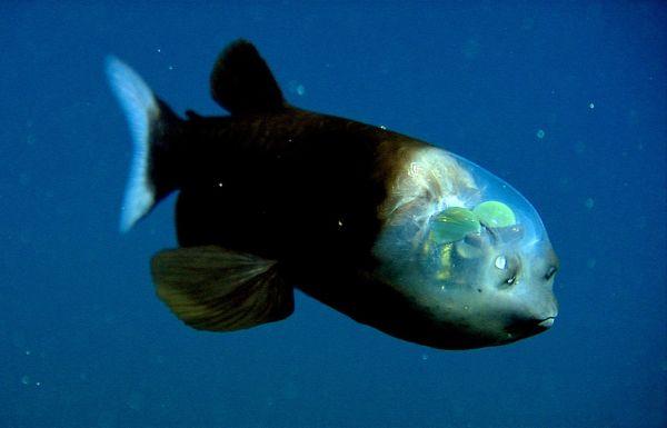 Macropinna, il pesce dalla testa trasparente.