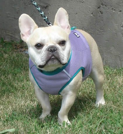 Cooling Vest By Hurtta French Bulldog Puppies French Bulldog