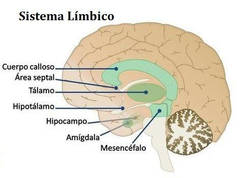 El sistema límbico es el conjunto de zonas del cerebro encargadas de ...