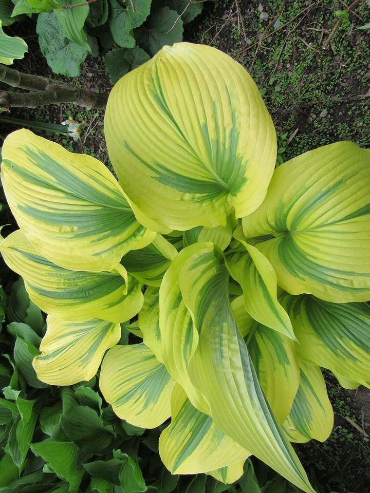 montana Moonshine hosta It grows 5 inches tall and 12 inches wide. Zones 3-9 ...#grows #hosta #inches #montana #moonshine #tall #wide #zones