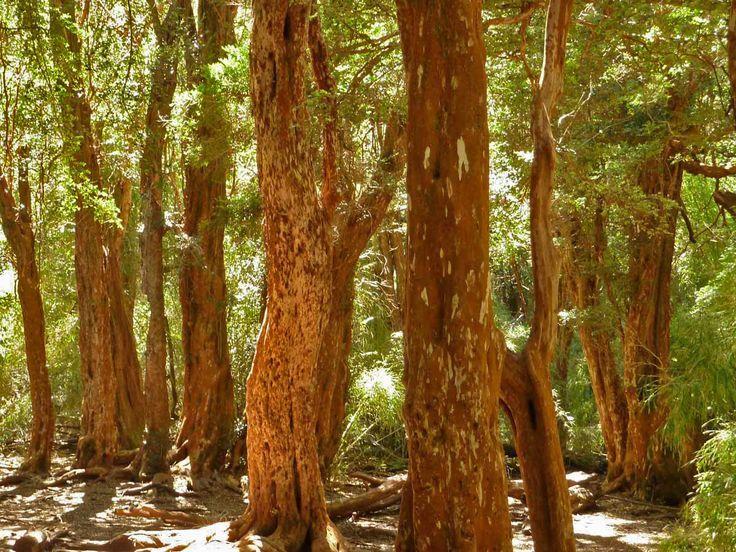cinnamon tree - photo #28