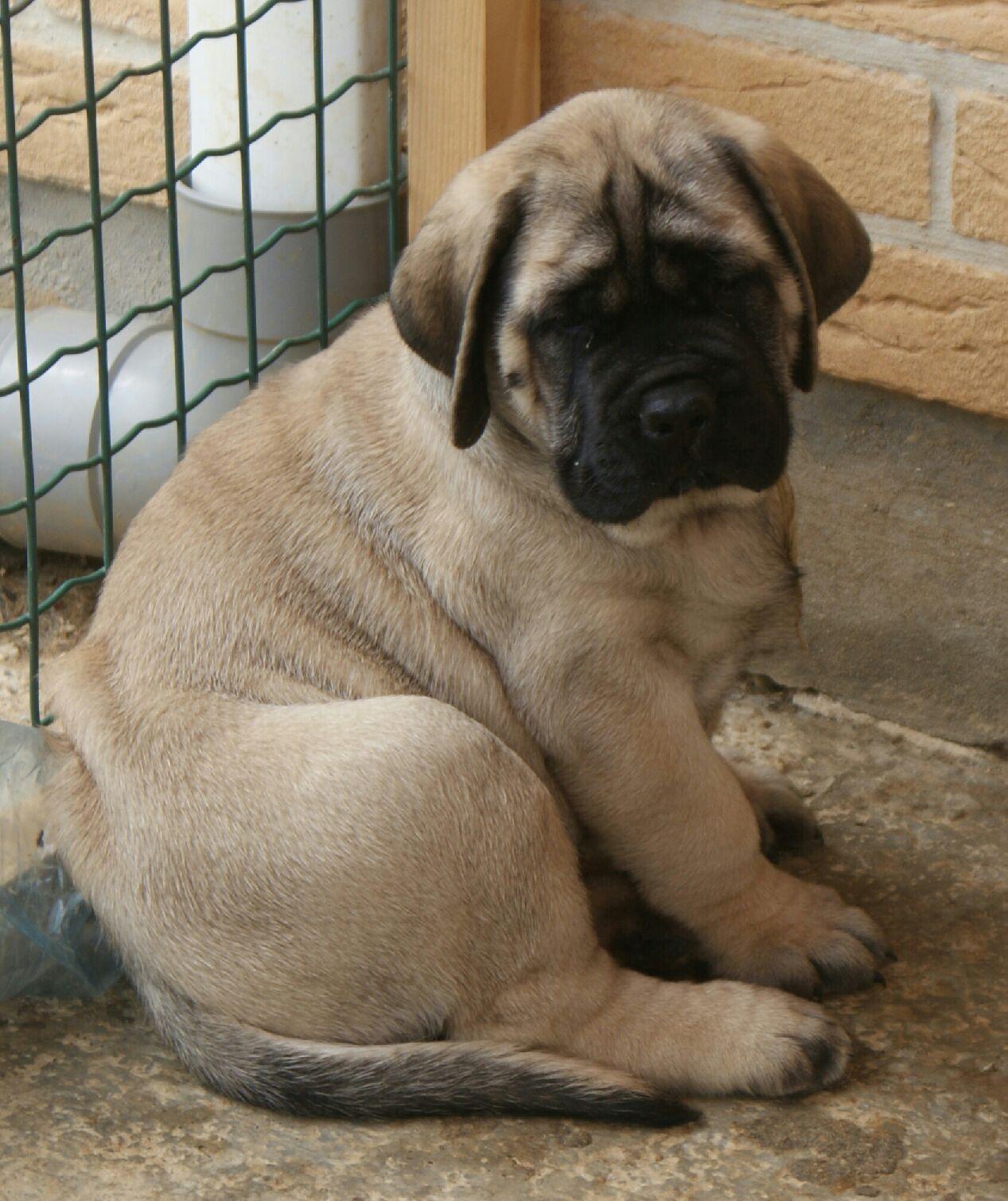 Sims English Mastiffs Gentle Giants Canine Love   Mastiffs