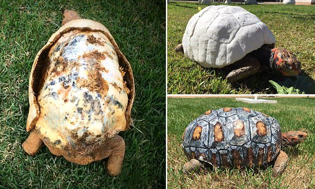 Freedy_ Tortoise receives first ever custom-made 3D prosthetic covering to replace its armour after it was burnt off in a bush fire