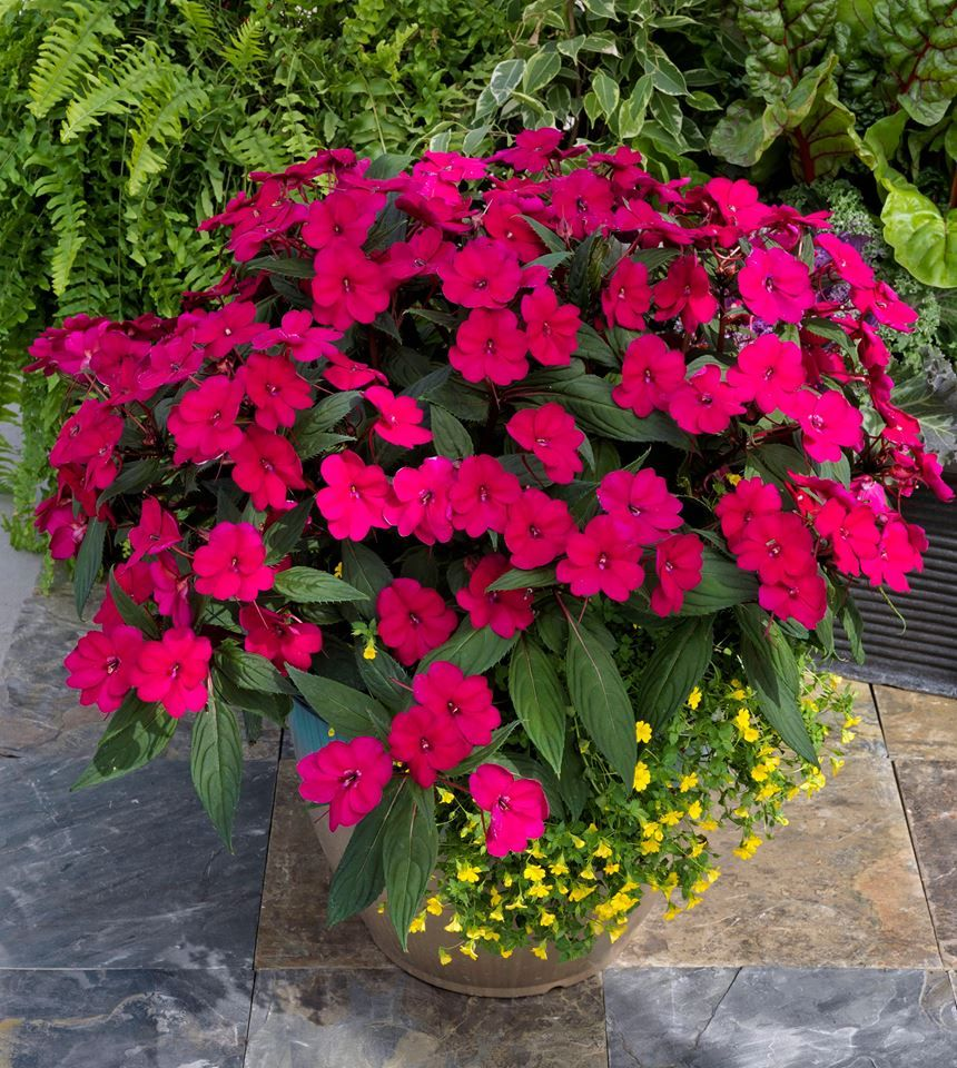 Sunpatiens Aare A Great Alternative To Standard Impatiens