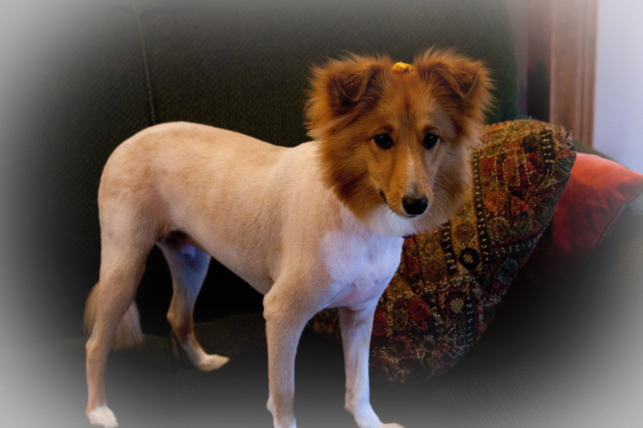 """Shaved Sheltie with the """"lion cut.""""  Please don't do this to a double coated dog! Not only do you ruin the integrity of the coat, but you also make a gamble on whether or not it will ever grow back."""