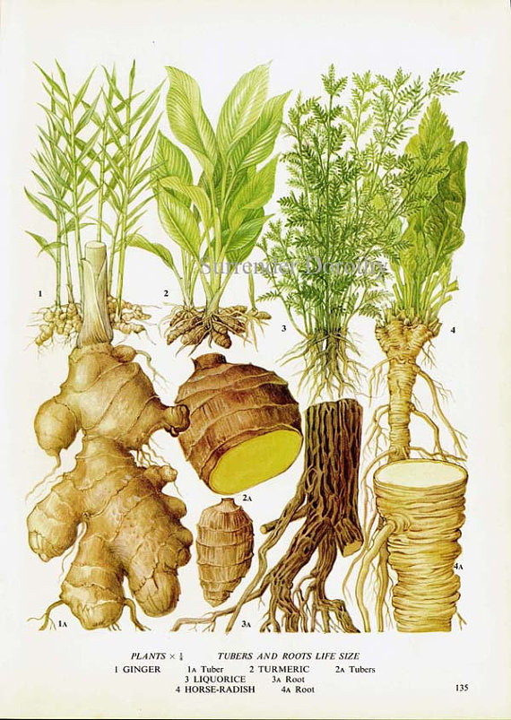 Ginger Turmeric Licorice Horseradish Chart Root Vegetable