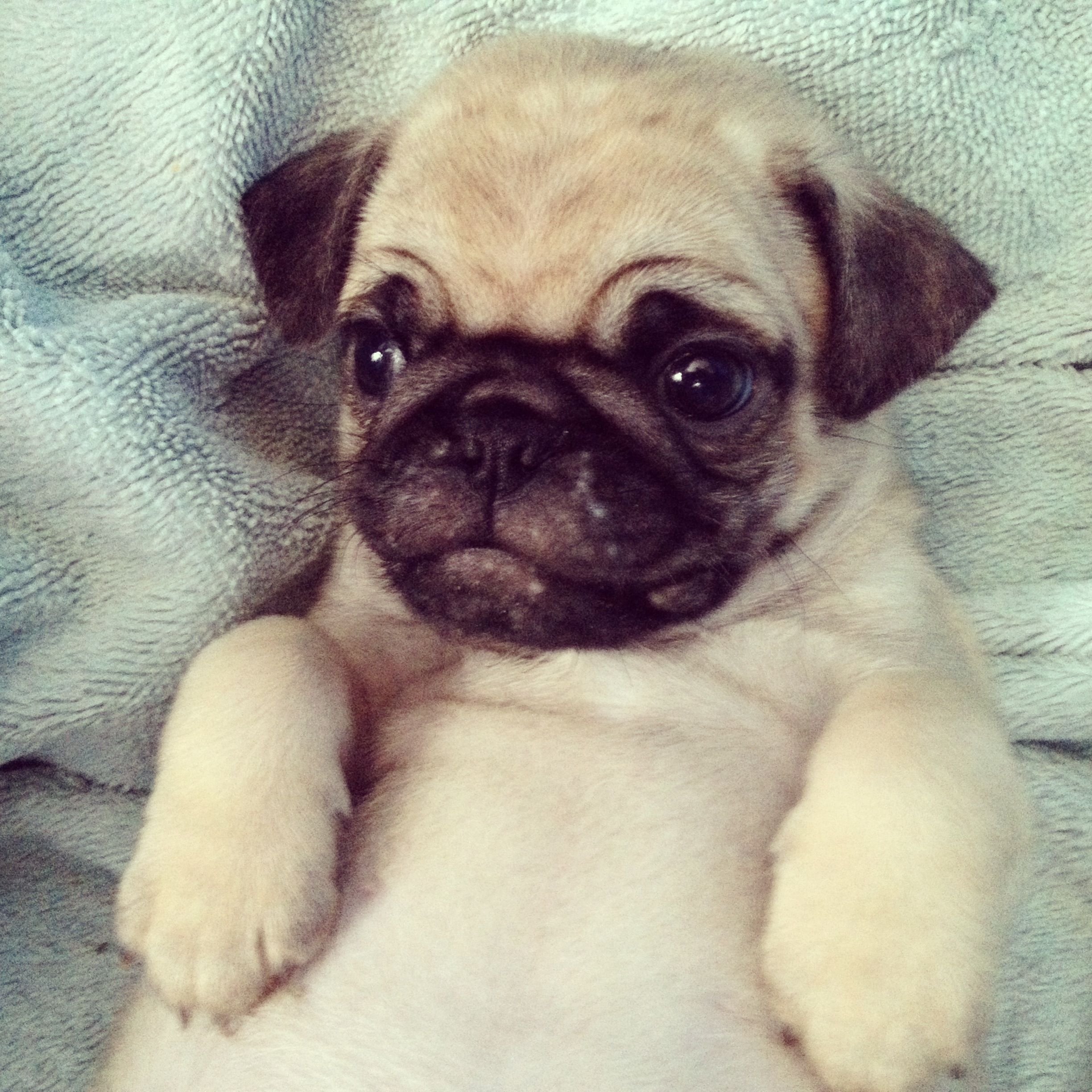 The Most Adorable Pug Puppy Ever Cute Pugs