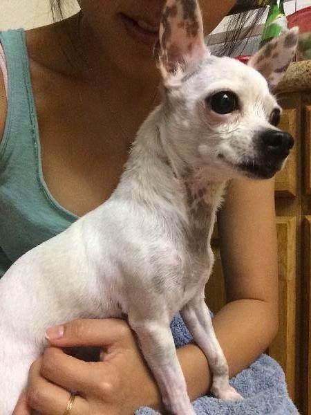MONTEREY PARK, CA - FOUND DOG: Pet Name: Gabby (ID# 64230) Gender: Female Breed: Chihuahua Color: White Pet Size: X-Small (2-9lbs) Pet Age: 8~10 Date Found: 07/28/2014 Zip Code: 91755 (MONTEREY PARK, CA) Crosspost from lostmydoggie. Please contact poster: http://www.lostmydoggie.com/details.cfm?petid=64230  Like
