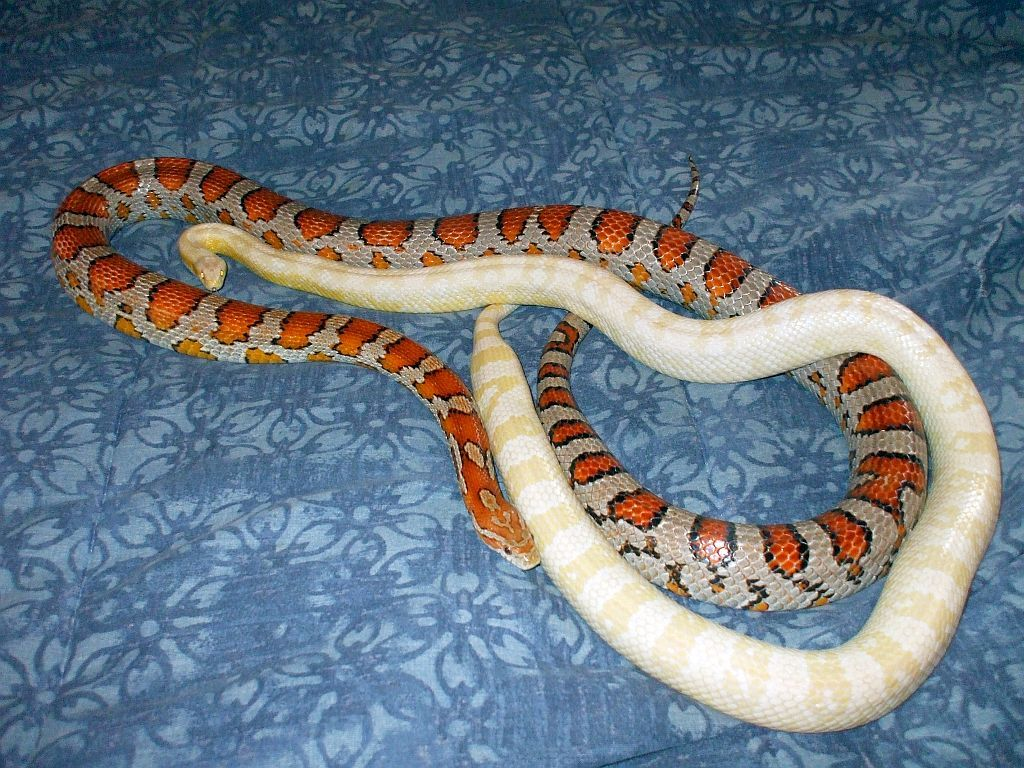 Gumball Ziggy Bubblegum Snow And Miami Phase Corn Snakes Corn Snake Snake Lovers Animal Conservation