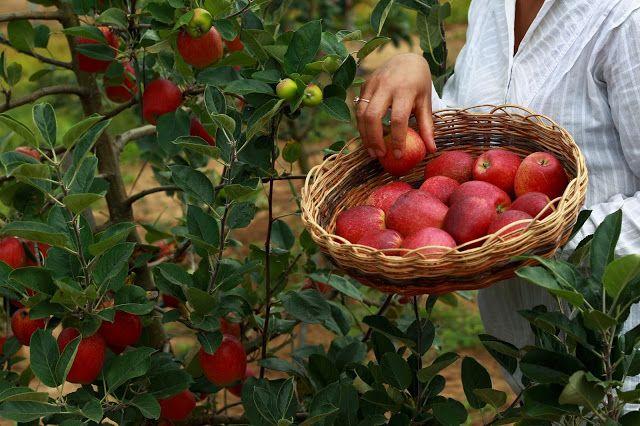 MORRO DO CHAPÉU: Unidade de observação faz primeira colheita de maçã