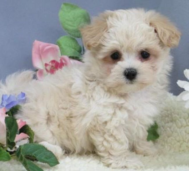 Maltipoo Puppies For Sale In Nj Maltipoo Puppy Maltipoo Cute