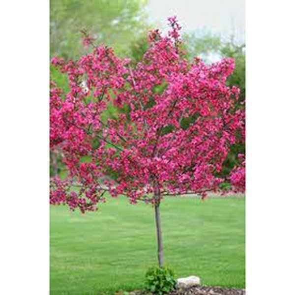 Malus Indian Magic Red Crab Apple Blossom Flower Pot Garden Bulb Flowers Johnstown Garden Centre