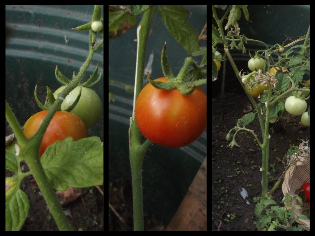 """primo """"raccolto"""" sul balcone di casa...pomodorino nano, piccolo, piccolo ma buono, buono e...""""sicuro""""!!!"""