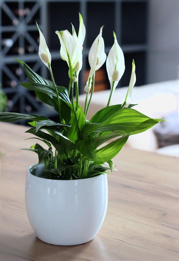 Skrzydlokwiat Zielony Parapet Spathiphyllum Plants House Plants