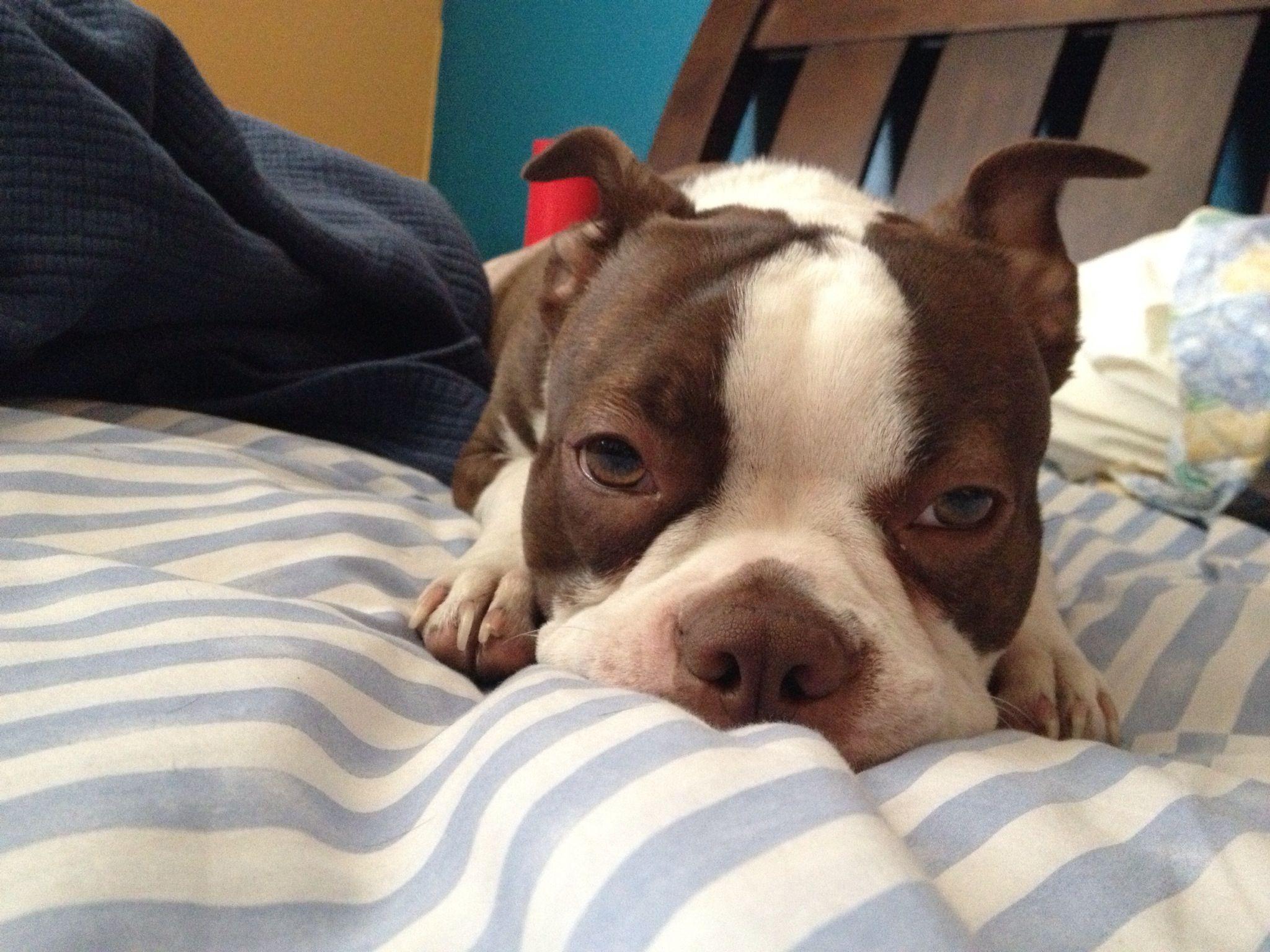Must Stay Awake Fail Boston Terrier Boston Terrier Love Cute