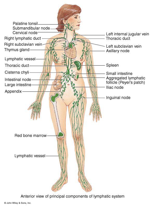 flow chart lymphatic system Anatomy  Physiology Body diagram