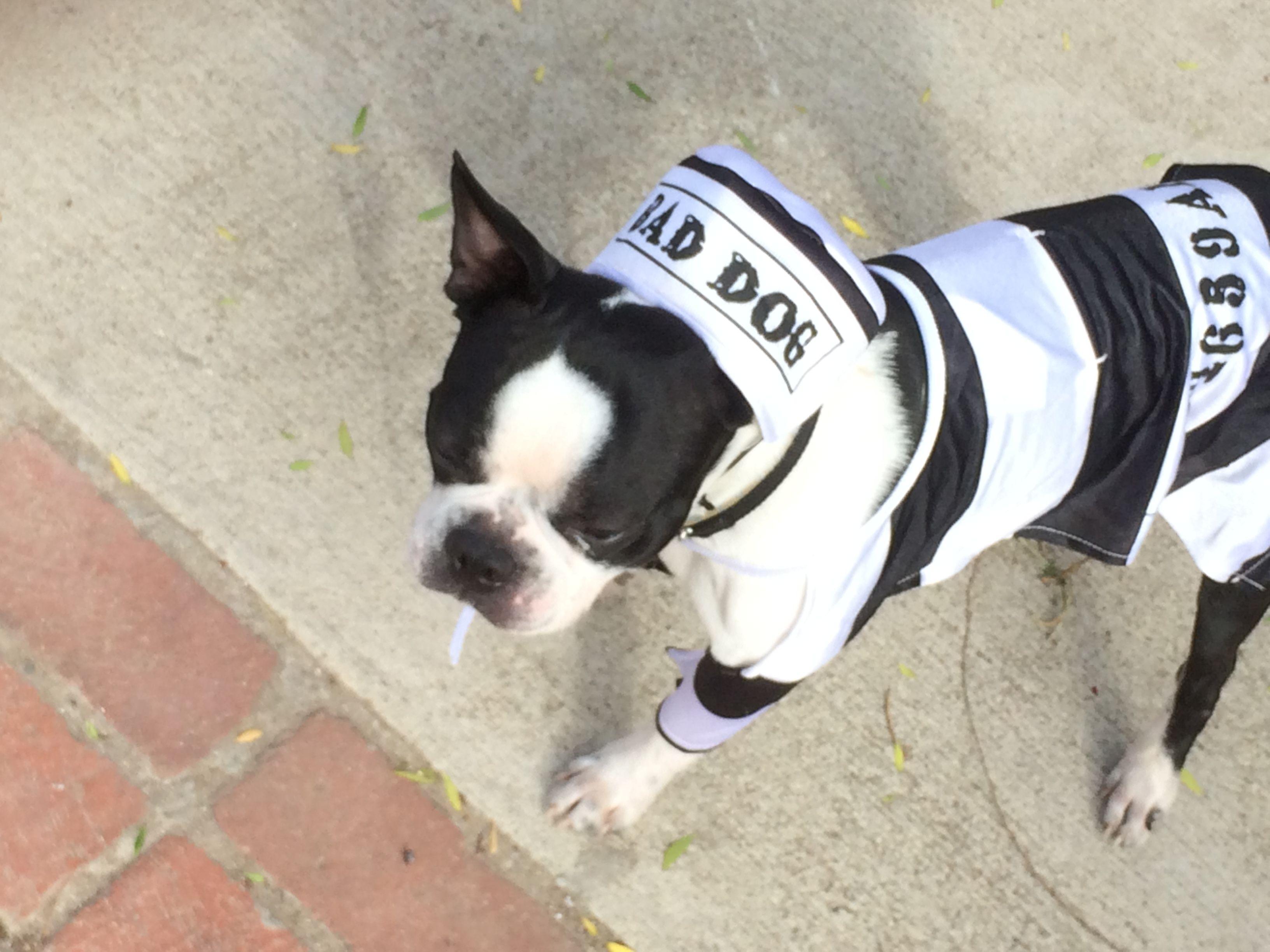 Pin by nicole photogstylistevent creatorguru on boston terriers