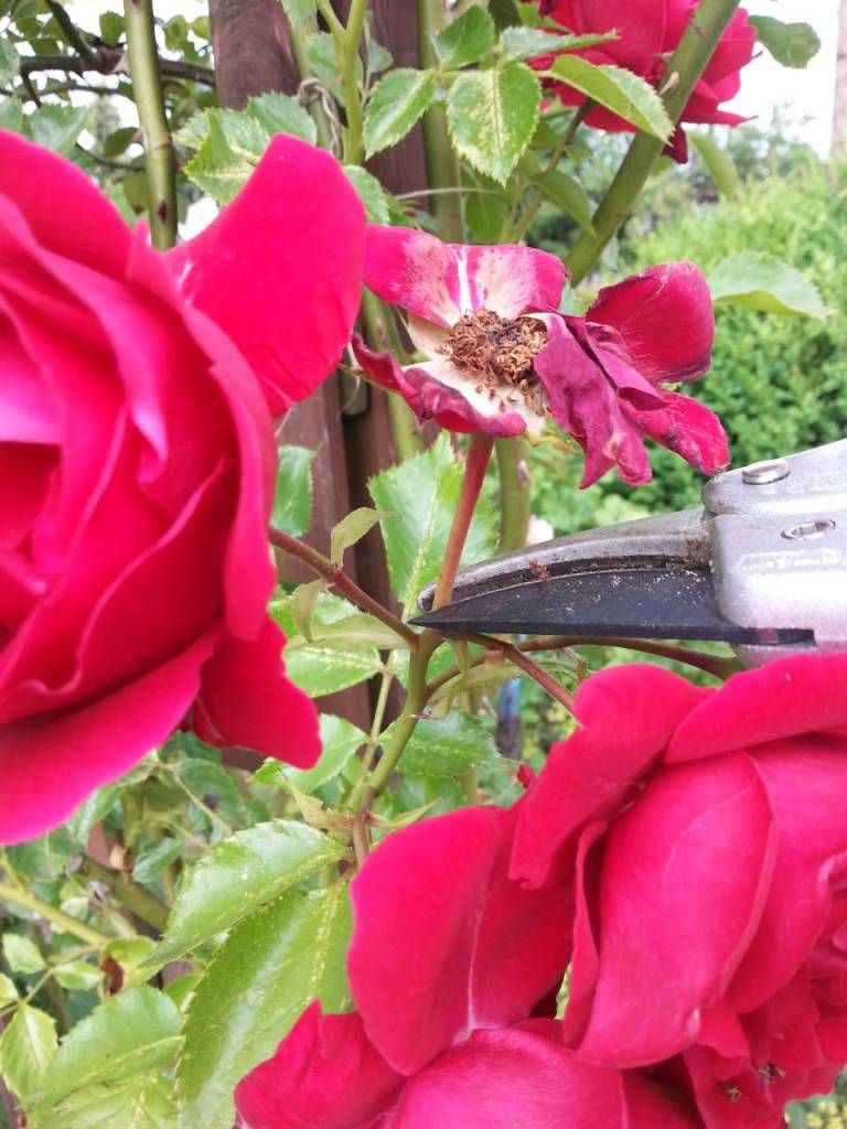 rosen schneiden nach erster bluete dolde schnitt | pflanzen | pinterest